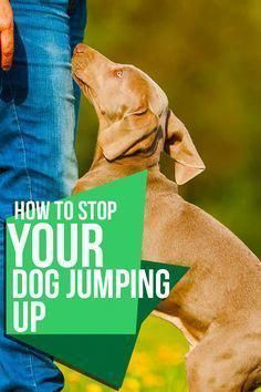 how to stop your dog jumping up  training tips from the