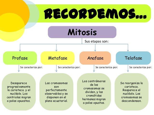 Cuadros Comparativos Entre Mitosis Y Meiosis Cuadro Comparativo