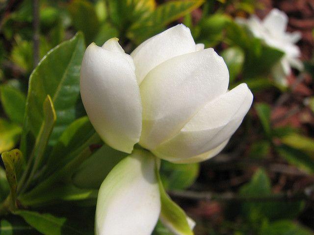 Gardenia Buds Gardenia Gardenia Bush Flowers