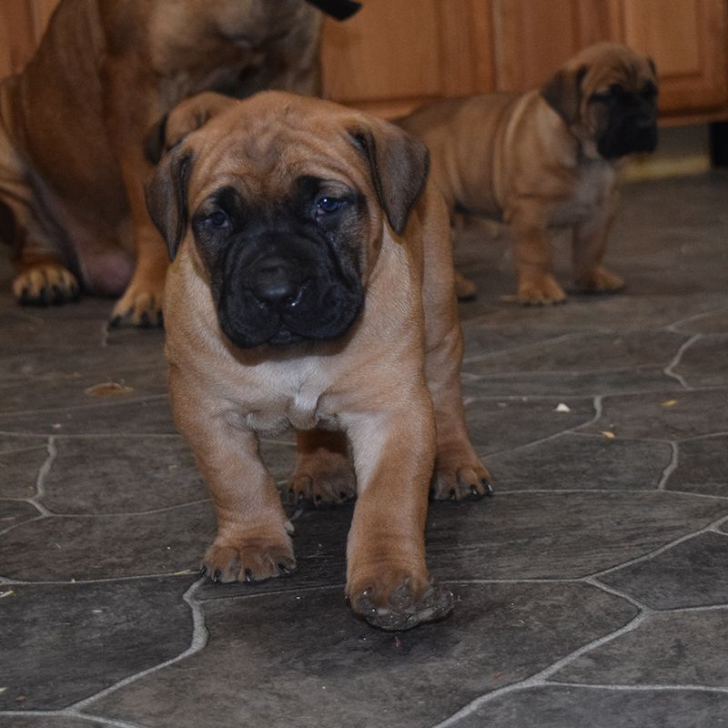South African Boerboel Puppies For Sale African Boerboel