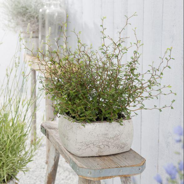 Sophora nain Little Baby Arbuste, Arbustes à fleurs