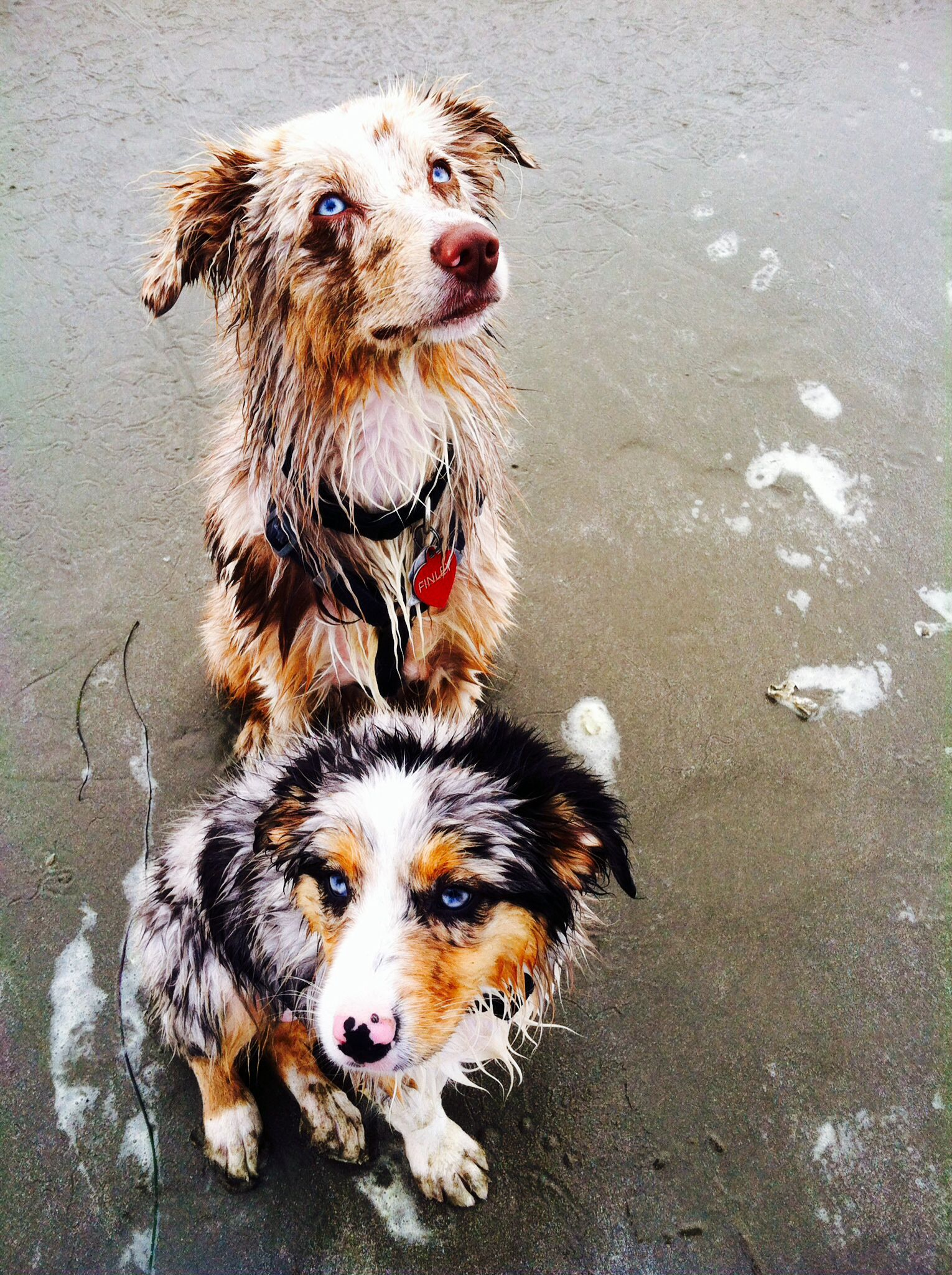 Finley 7 Month Old Red Merle Mini Aussie With Maybelline 3 Month Old Blue Merle Mini Aussie Australian Shepherd Dogs Australian Shepherd Dogs