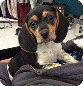 Pleasanton Ca Beagle Mix Meet Poppy A Puppy For Adoption