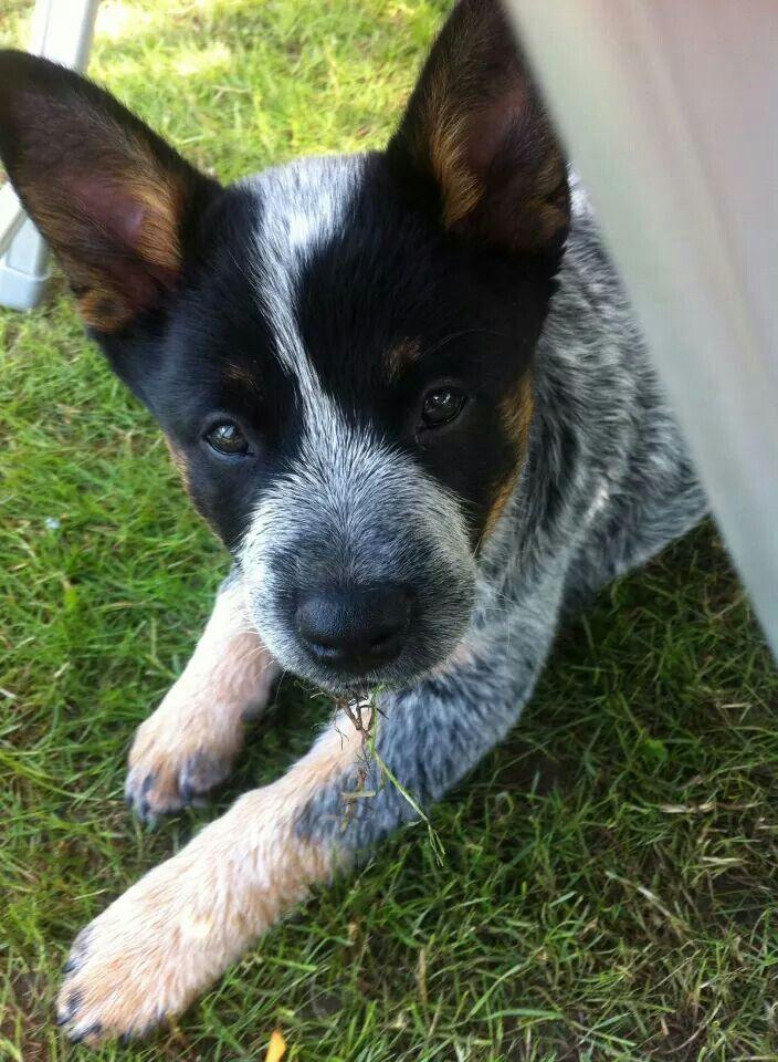 GaJa my blue heller dog :*
