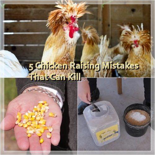 5 Chicken Raising Mistakes That Can Kill | Raising chickens