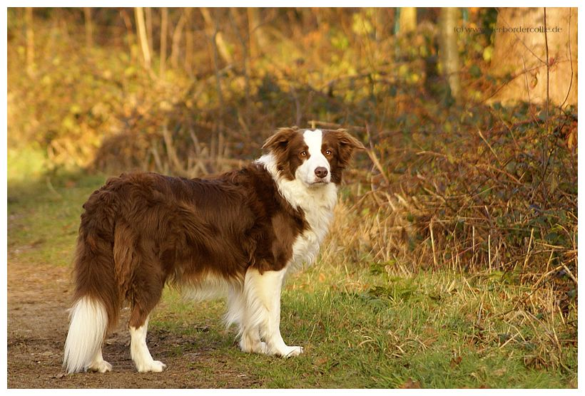 Brown and White Border Collie Collie, Brown border