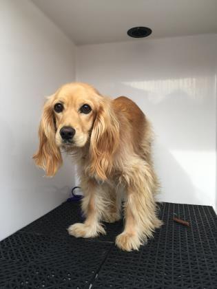 Animal Id T34298416 R Nspecies Tdog R Nbreed Tspaniel English Cocker Mix R Nage T1 Day R Ngender Tfemale R Nsize Tmedium R N Dog Adoption Dogs Dog Love