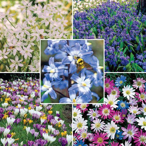 Early spring nectar varieties for bees crocus vernus early spring nectar varieties for bees crocus vernus ornithogalum umbellatum star mightylinksfo