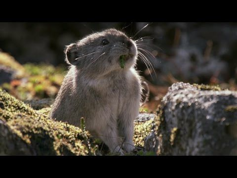 ナキウサギの冬ごもり/Collared Pika Prepares For Winter - Wild Alaska - BBC - YouTube