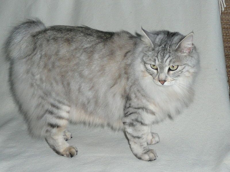 Kurilian Bobtail cat from the Kuril Islands, near Russia. They're considered a breed group and come in long and short hair.  This is a long hair.