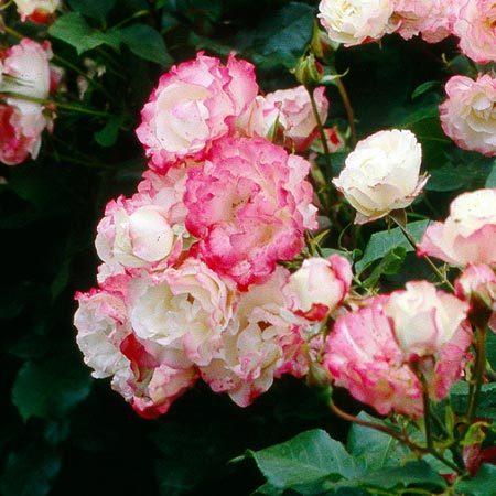 Épinglé sur roses