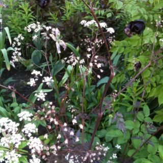 Raven's wing cow parsley in spring border
