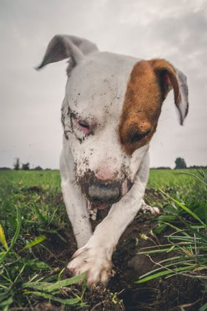 Dogs Bury Things Because Wild Dogs Hide Food For Later. Do You Have  Canine Created Mounds Of Dirt All Over Your Backyard? Are You Constantly  Buying Toys ...