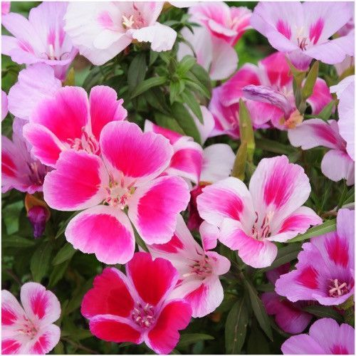 Godetia Farewell To Spring Seeds Clarkia Amoena Flower Seeds Online Flower Seeds Flower Pot Design