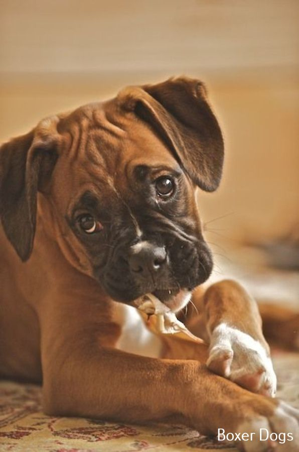 Photo of Cachorro Boxer Recién Nacido
