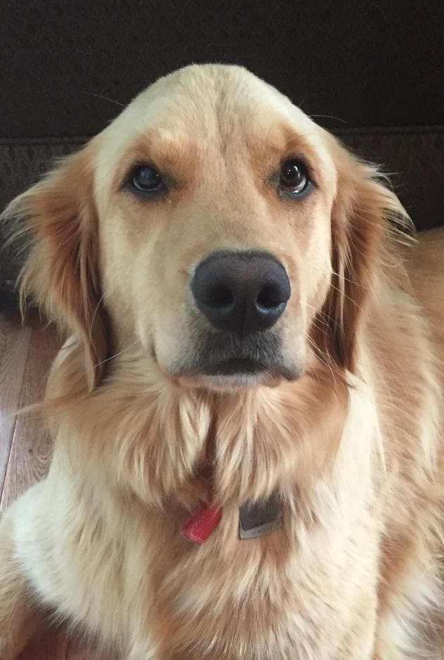 This Is Bella A Young Female Golden She Was An Owner Surrender