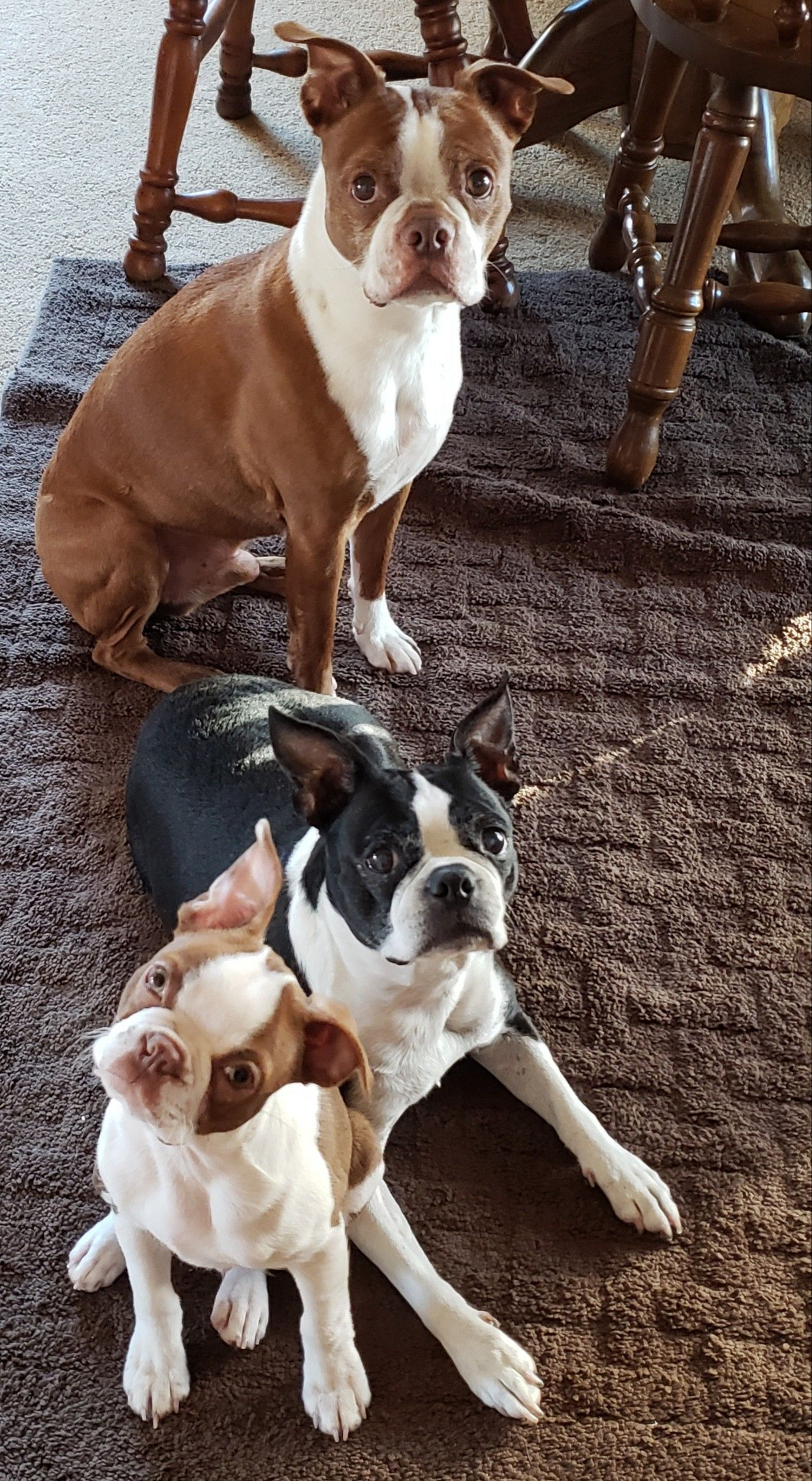 Boston Terriers Buster Bella And Keeper Boston Terrier Boston Terrier Puppy Boston Terrier Funny