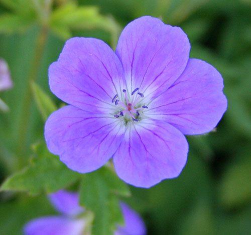 geranium sylvaticum mayflower | Geranium sylvaticum ...