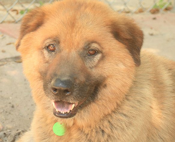 Adopt Skippy On Rescue Me Dogs Adoption Chow Chow Mix