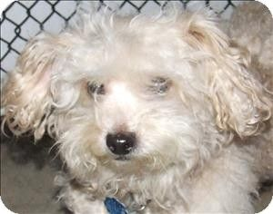 Quakertown Pa Poodle Toy Or Tea Cup Mix Meet Mota A Dog For
