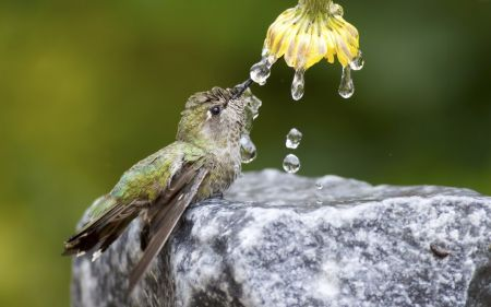 Humming-bird - green, water, flower, bird, humming-bird, cute, yellow