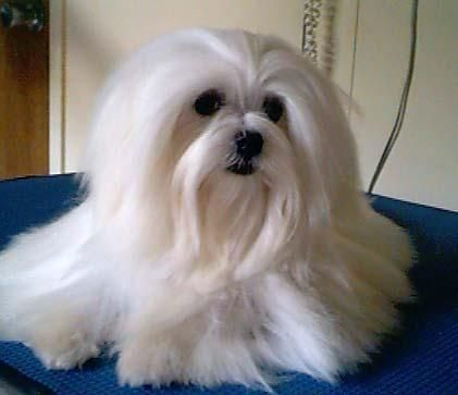 In A Grooming Mood Maltese Soie Maltese Australia Maltese Dogs