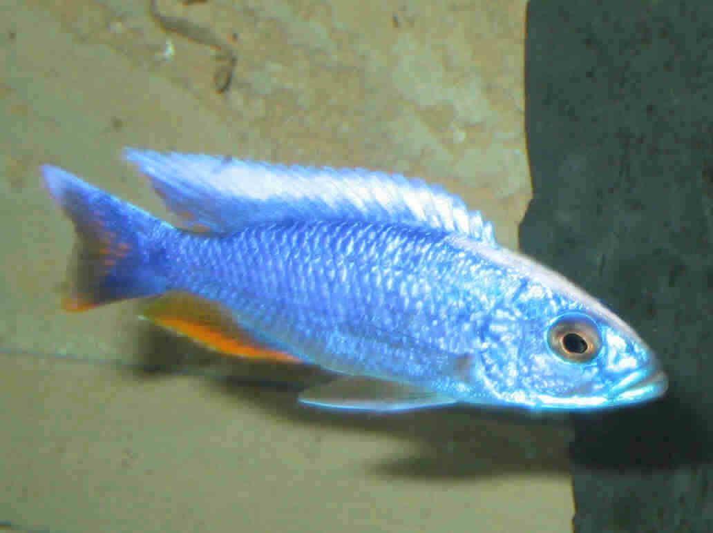 Sciaenochromis Fryeri Maleri Is Electric Blue Ahli Cichlid