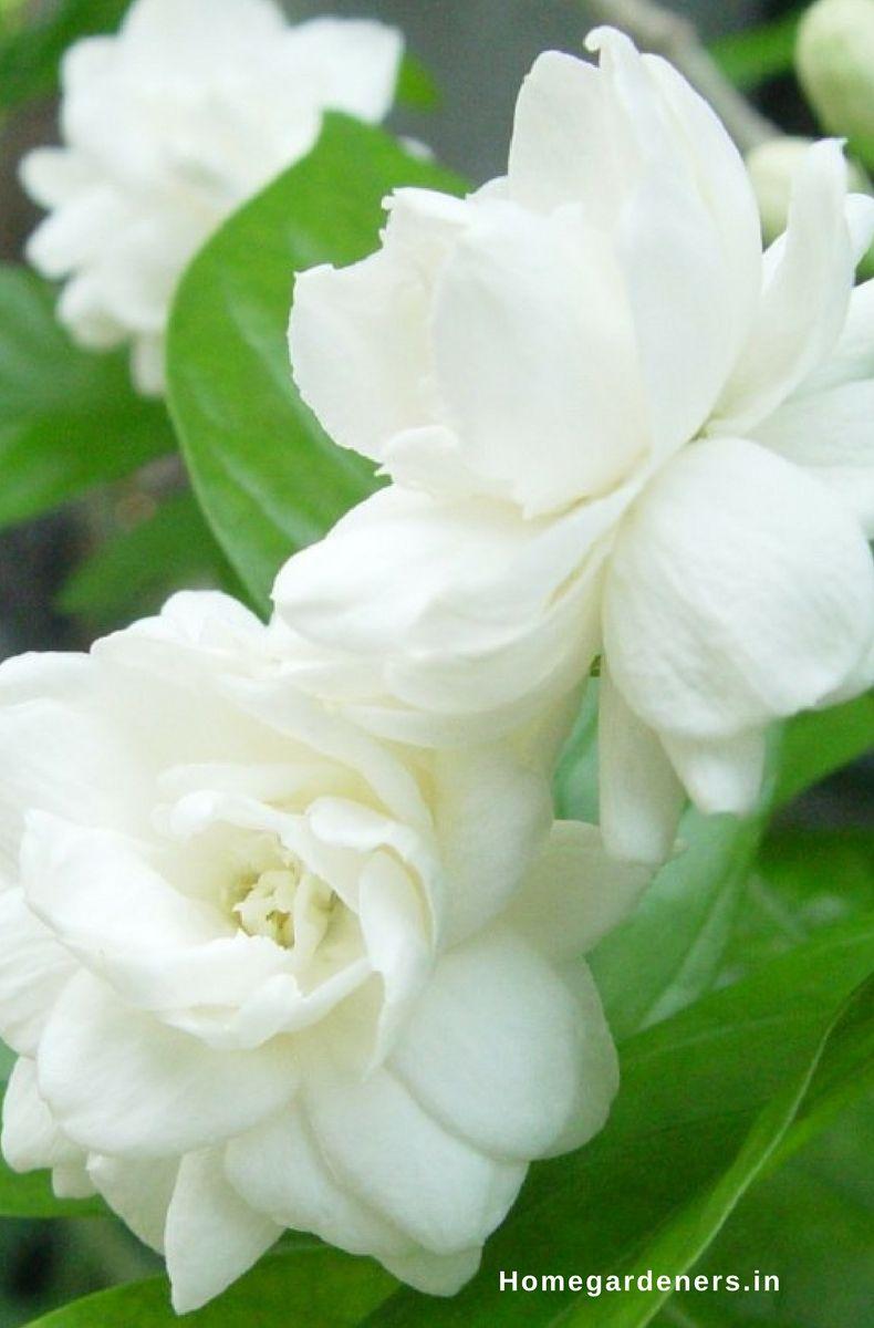 How To Grow And Care For Jasmine Plant Pinterest Jasmine