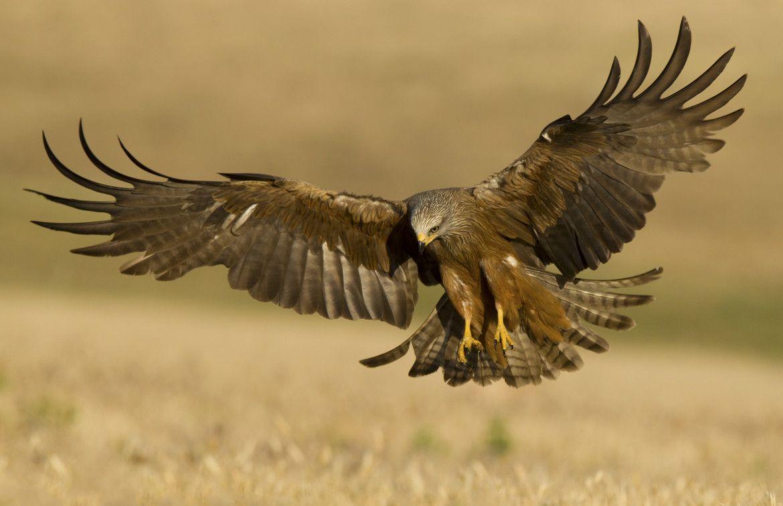 Photo Landing by Piotr Szydlo on 500px | RAPTORS... BIRDS ...