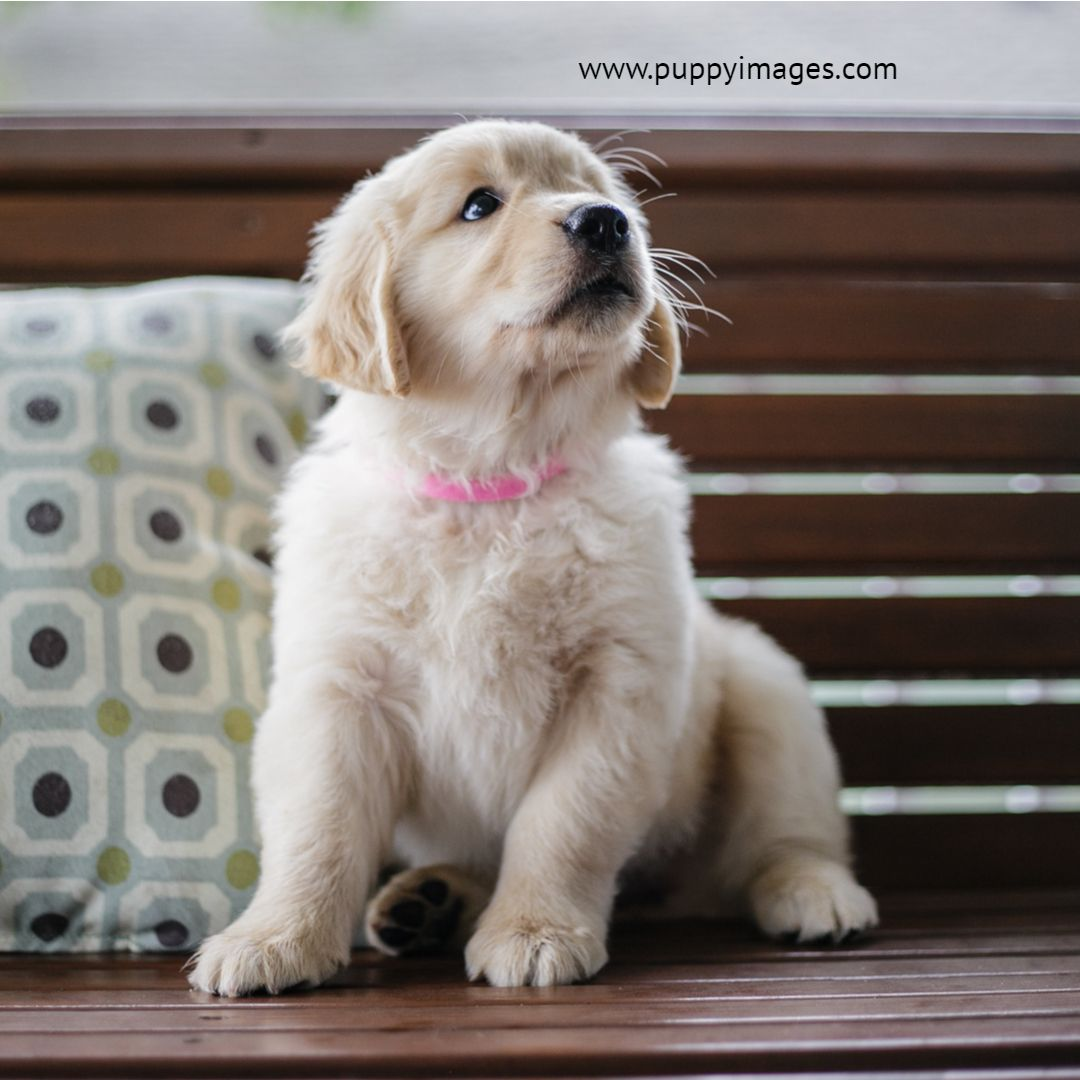 Golden Retriever Puppy On Bench Golden Retriever Retriever