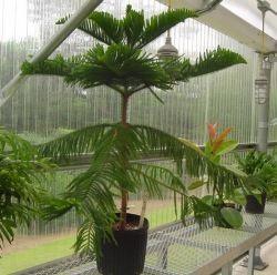 Norfolk Island Pine Tree Care   Araucaria Heterophylla Nice Look