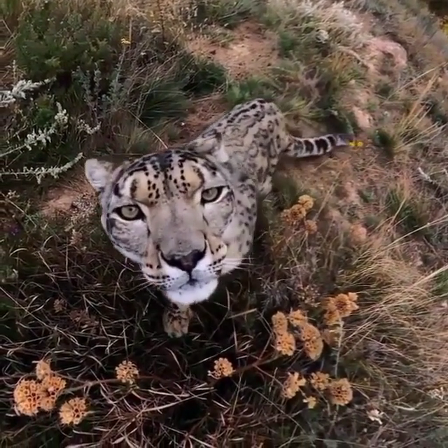 Snow leopard checking out a wildlife cam