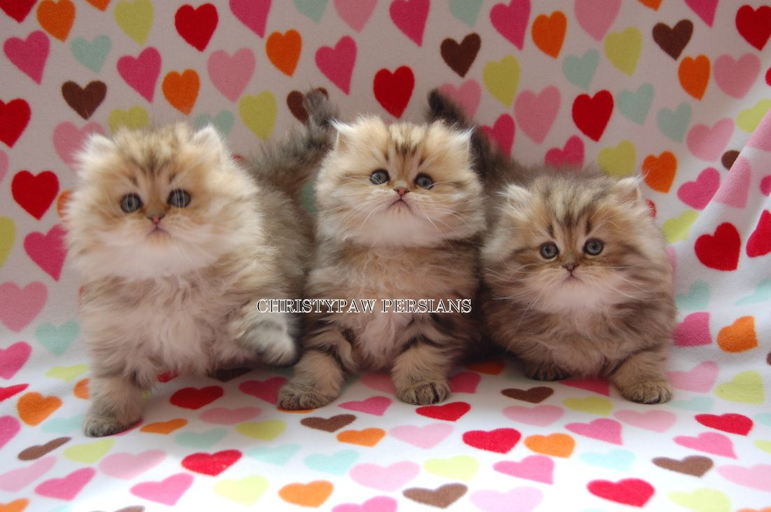Traditional Doll Faced Persian Kitten Blue Lynx Point Scout