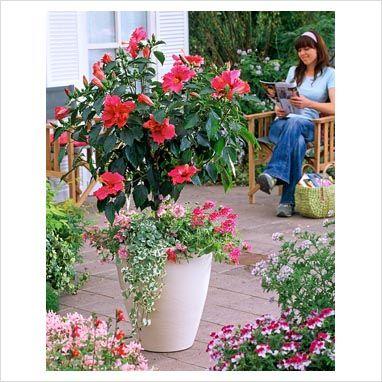Hibiscus Container Gardening   Hibiscus Standard In Container   Finished  Container With Hibiscus .