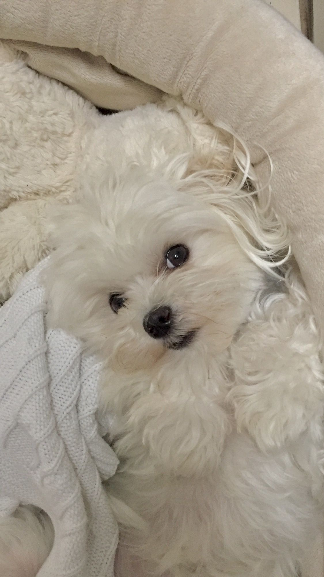 Cuddle Monkey Maltese Dogs Cute Baby Animals Maltese Puppy