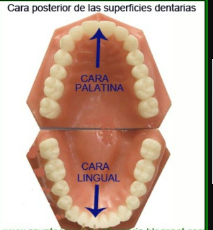 Pin von Ana Belen auf anatomia dental | Pinterest