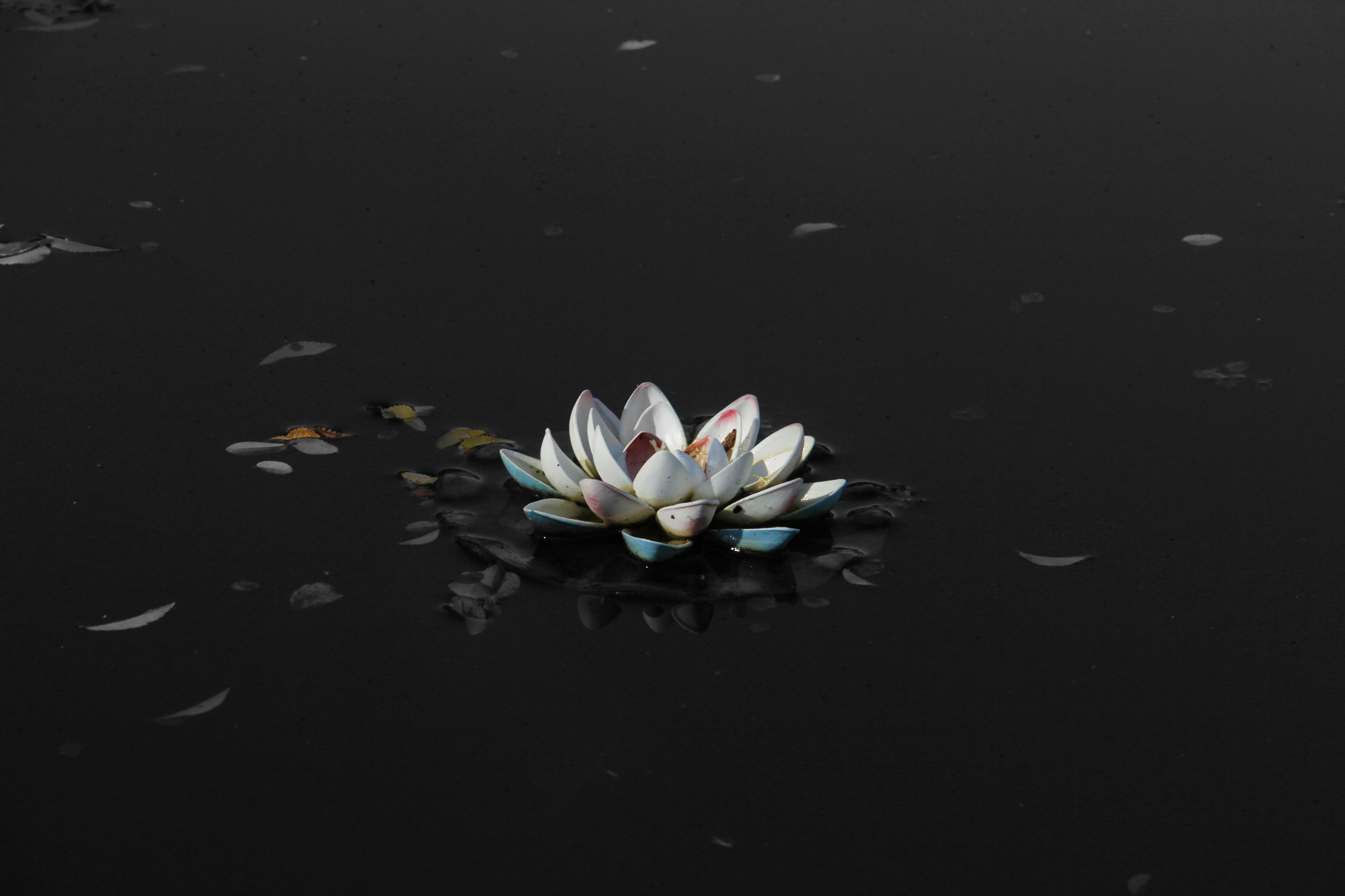 Black Lotus Flower Wallpapers Hd Resolution Natures Wallpapers