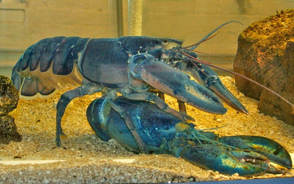 When a Lobster is Just a (Bigger) Shell of Its Old Self
