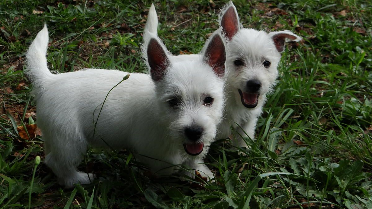 West Highland Terrier Puppies For Sale In Lawrenceville Georgia