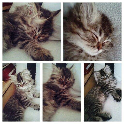 Sleepy kitten ♡ so cute!!! ▲.▲