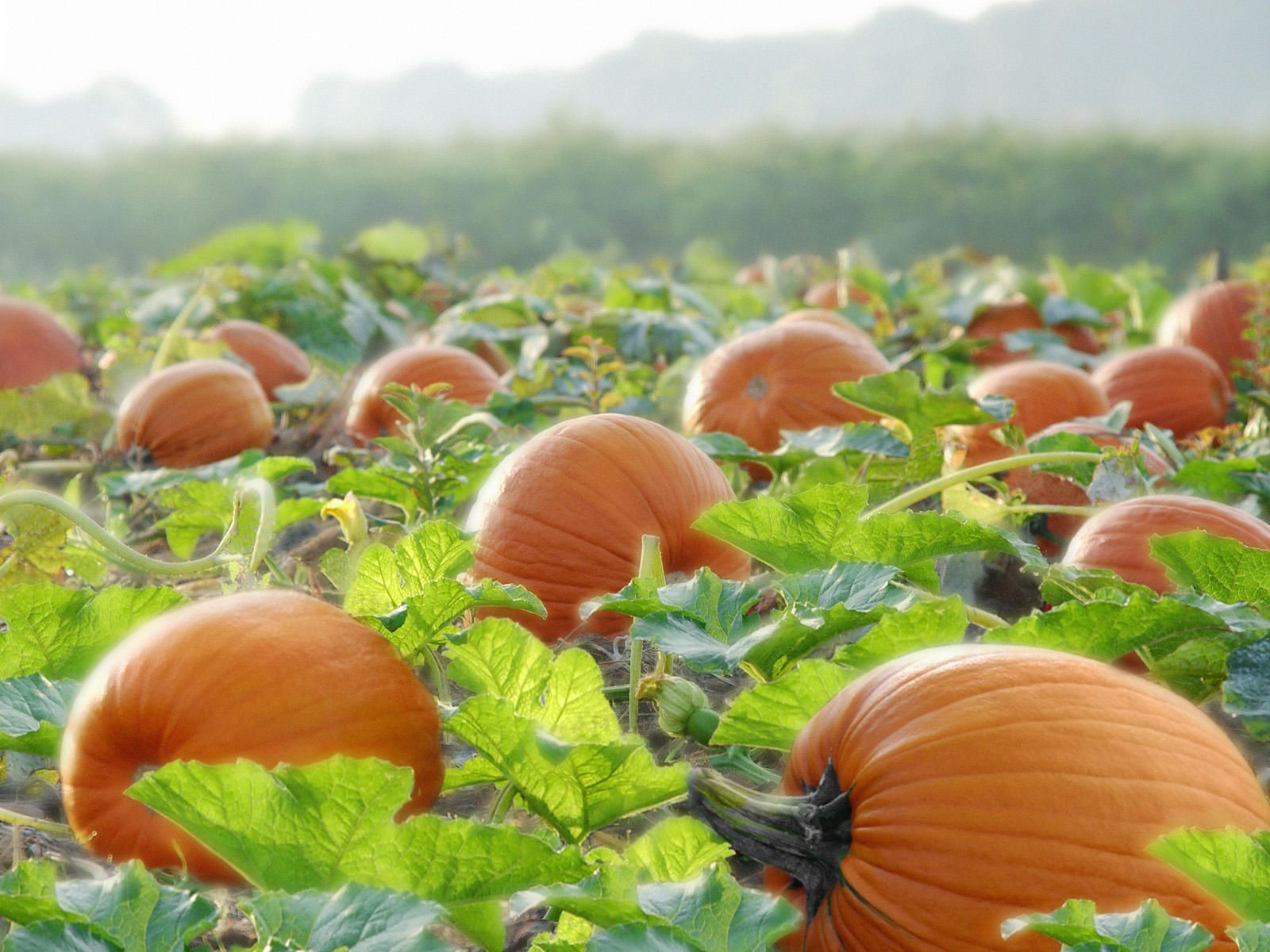 Image Detail for Photography Pumpkins Ready to Harvest