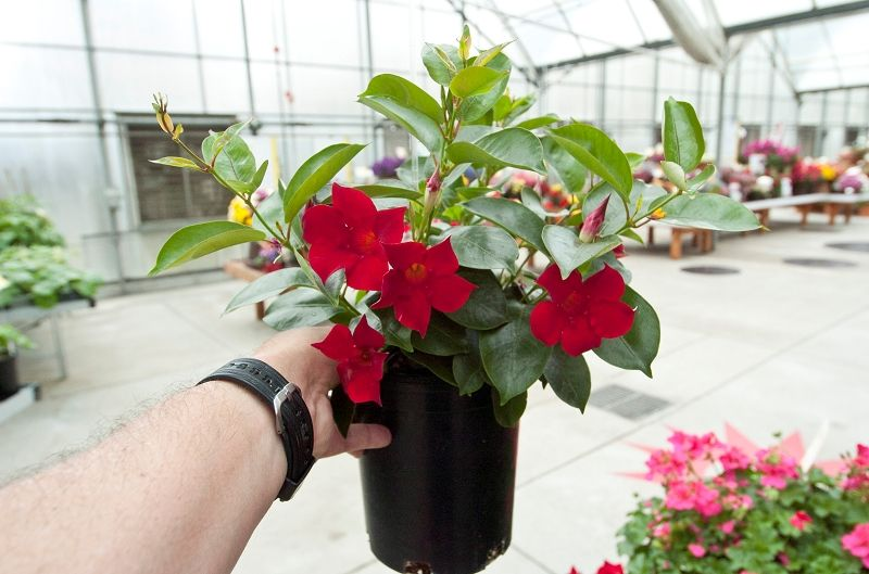 Syngentaflower Pt2012 44 156 Plants Tropical Plants Garden