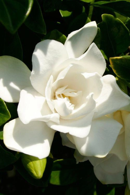 Buy Jubilation Gardenia Bushes Free Shipping 2 5 Quart Plant For Sale From Wilson In 2020 Southern Living Plants Flowering Shrubs Southern Living Plant Collection