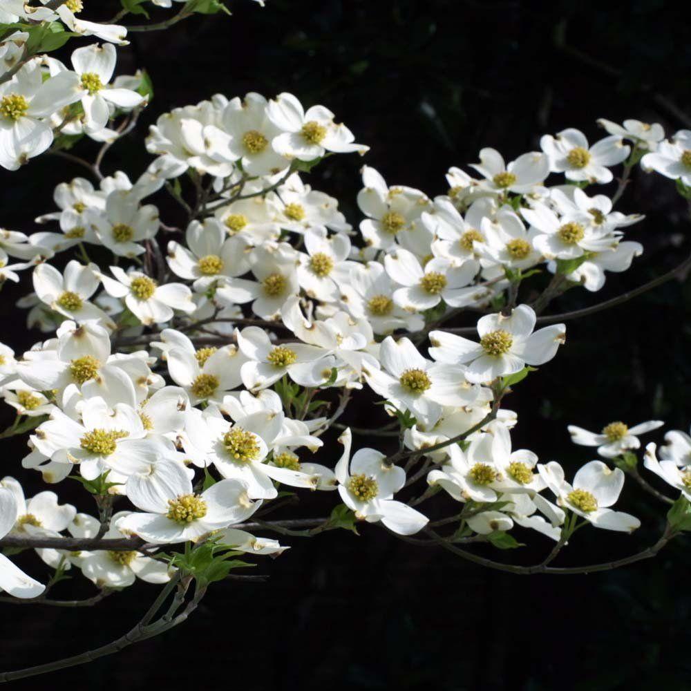 Cornus Florida White Flowering Dogwood Tree White Dogwood Dogwood Tree Flower Florida Trees Dogwood Trees
