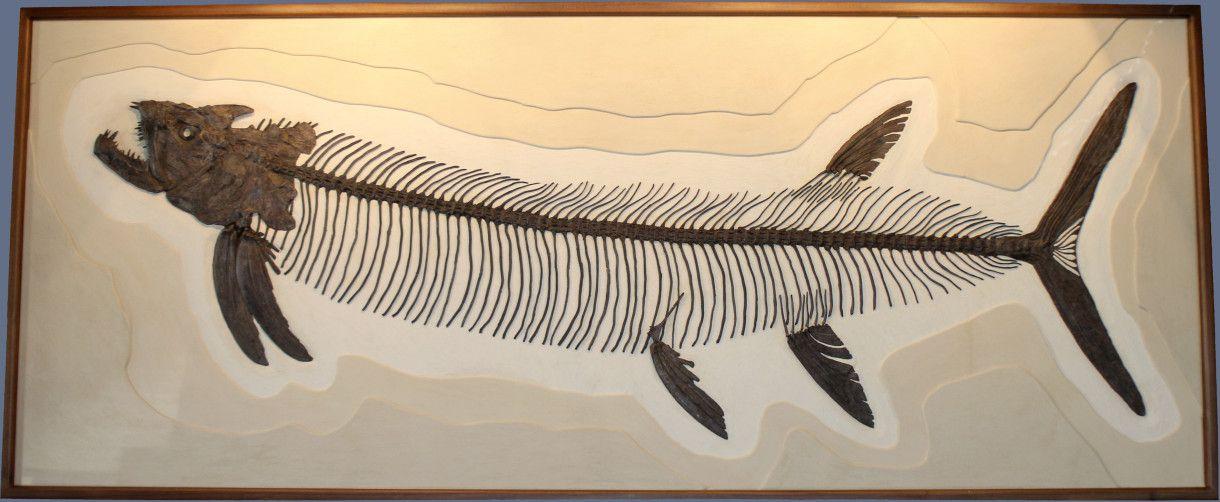 Xiphactinus audax   Fossils, Dinosaur fossils, Natural history