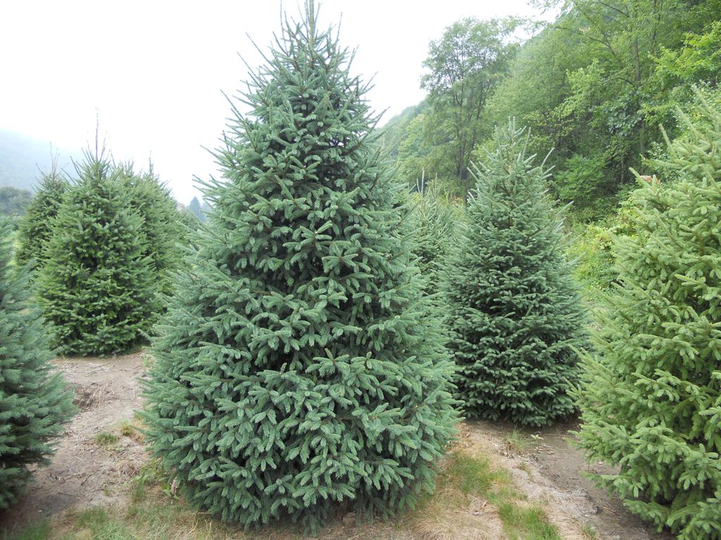 Black Hill Spruce Black Hills Spruce We Have In The Yard I - Black hills spruce bonsai trees