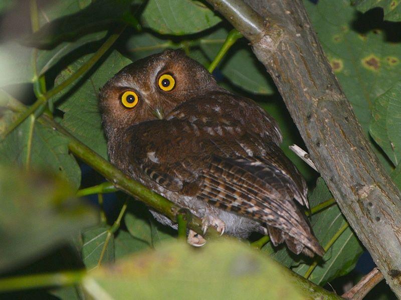 Santa Marta Screech Owl (Megascops gilesi). Photo by Alan Van Norman.