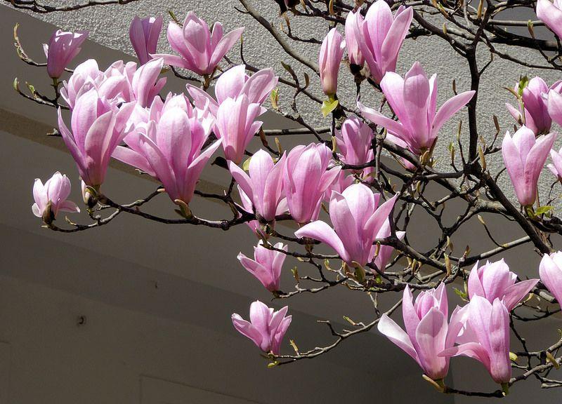 Die Magnolie Outdoor Gardens Magnolia Flower Power