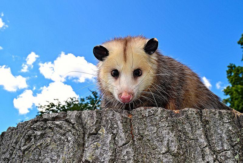 Virginia Opossum Opossum, Animals wild, Animals