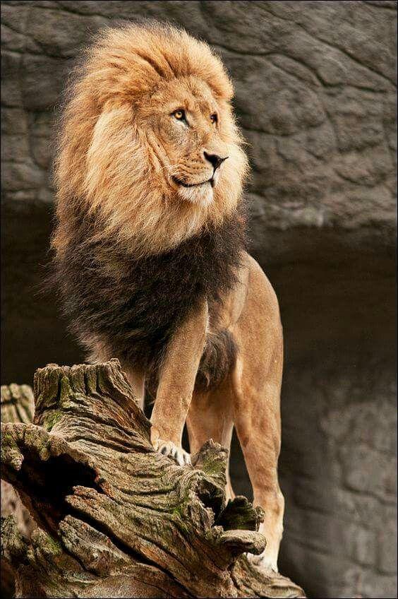 Leão A Vista Awesome Wild Cats Löwe Tiere Und Wilde Tiere